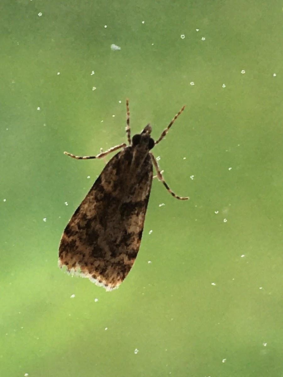 Double-striped Scoparia Moth