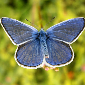 'Magnificent one' by Iulia Cristina Handrabur - Novices Only Macro ( butterfly, wild, great, blue, beautiful, award, lovely, romania, insect, rising star,  )
