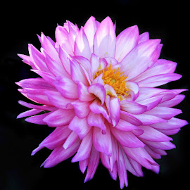 Dahlia by Margie Troyer - Flowers Single Flower