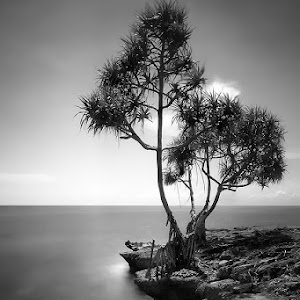 pohon di tepi karang s.jpg