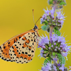 Spotted Fritillary by Adem Yağız - Animals Insects & Spiders ( spotted fritillary, kelebek, butterfly )