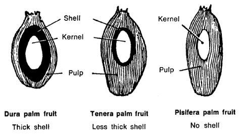 palm oil - types of palm fruits