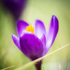 by Eden Meyer - Flowers Flowers in the Wild ( colors, wildflower, crocus, flower,  )