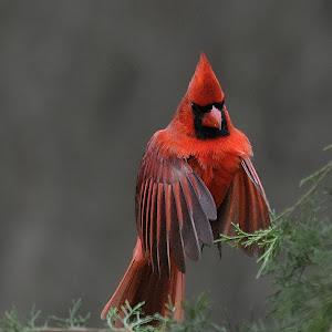 8x10 cardinal8_pe.jpg