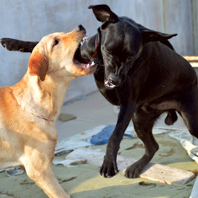 by Vaibhav Purohit - Animals - Dogs Playing