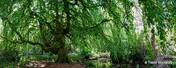 Photo: Weeping Beech, Rosshall Park, Glasgow