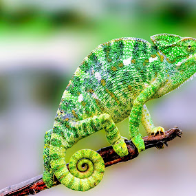 Green Chameleon by Faizan Hussain - Animals Reptiles ( wilderness, green, branch, nature up close, wildlife, reptile, chameleon,  )