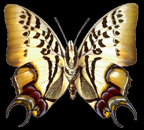 Transparent Real Butterfly RknET6vBiQ4L9IefXcWM
