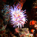 Blunt-Tentacled Anemone