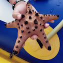 Chocolate Chip Seastar