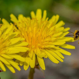 BIE  by Monita Alstadsæter - Animals Insects & Spiders ( bee, nature, yellow, honning, flower )