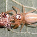 Jumping spider and prey