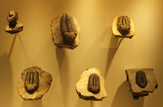 Photo: Trilobites at Houston Museum of Natural Science.