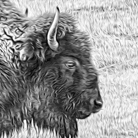 Buffalo Head by Richard Michael Lingo - Digital Art Animals ( buffalo, animal, black and white, bison, yellowstone,  )