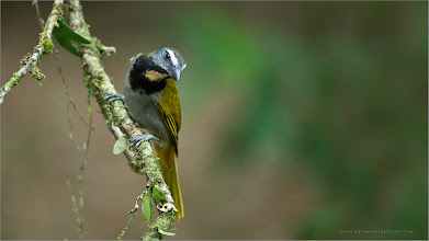 Photo: Buff-throated Saltator RJB Colours of Costa Rica Tour Nikon D800 ,Nikkor 200-400mm f/4G ED-IF AF-S VR 1/100s f/4.0 at 400.0mm iso400 thanks for looking!