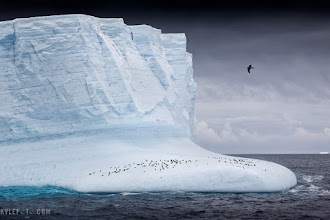 "Photo: Learning to read icebergs Antarctic Peninsula  Look at this iceberg now, then look at it after reading this and you will actually be able to read this iceberg.  There are so many stories in this photo alone I don't know where to begin. I should start with the fact that a quick glance at an iceberg can tell us a lot about it's history; mother nature etches a story in every crack, layer, texture and curve.  First of all this iceberg is in mostly in the same orientation it was when it first broke off the glacier it came from. The horizontal lines are the layers of snow that have been compressed into ice while the glacier was flowing down the mountain, as well the surface had an edge of snow, still built up from high precipitation, this tells us the ice is still mostly upright.  Once this huge chunk of ice was set free into the ocean, it began to melt faster than it would as a glacier. The currents and movement of the salty sea water begin eroding the bottom of the iceberg but in a smooth pattern, turning hard edges into soft curves. The ""shoreline"" on the iceberg is where the lapping of the waves on the surface erode the iceberg the most, creating the indentation in the middle where the smooth ice ends and the rough untouched ice begins.  As the iceberg melts and chunks fall off, the balance changes. As you can see the lower right portion of the iceberg used to be underwater because it's smooth, it's now above water with the new weight distribution.  This iceberg is now peppered with Adele penguins. It may be a lot of penguins who are two years old and younger; essentially spinster penguins not yet mature enough to breed. They have no obligation to be in a colony and get to spend the first two years of their life feeding and enjoying themselves. The cape petrel flying on the top right creates a point of interest in the most perfect spot, further illustrating how icebergs can be mother natures ""rest stops"".  But there is more! Ice creates a mini ecosystem that krill and small copepods and crustaceans tend to cling to. Small slivers of grey dot the lower left of the iceberg betraying the presence of Antarctic Terns fishing for these small creatures. These waters are rich with life, and as desolate as an image can seem, a trained eye can see an abundance of wonderful creatures.  Take a look at the ice again, do you see what I see?  If you like this, do me a favor please share! #plusphotoextract"