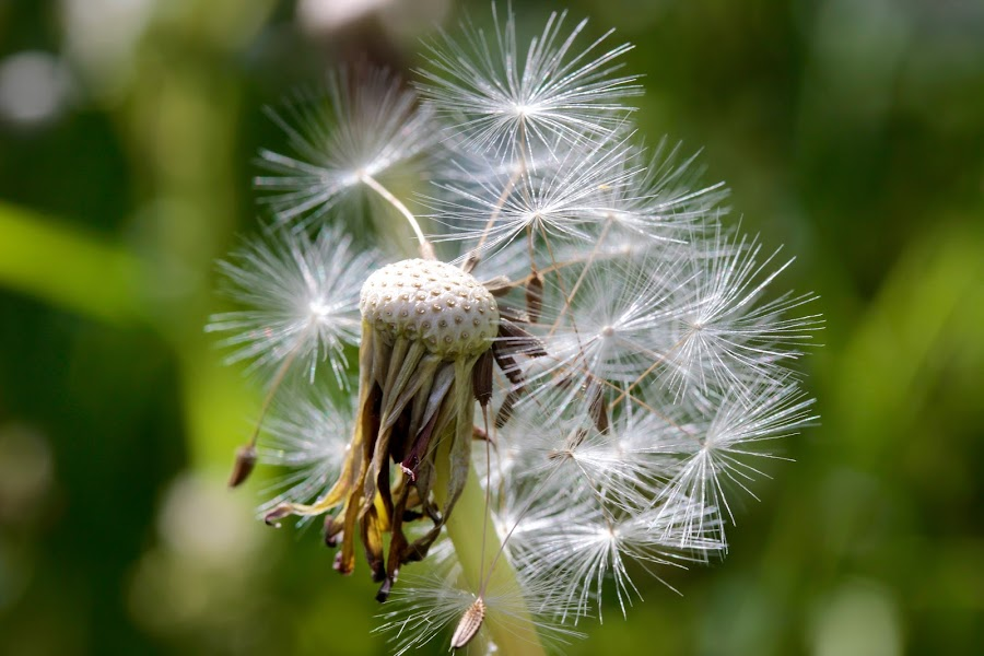 11 O'Clock by Glyn Lewis - Nature Up Close Other plants ( macro, nature, dandelion, close-up,  )