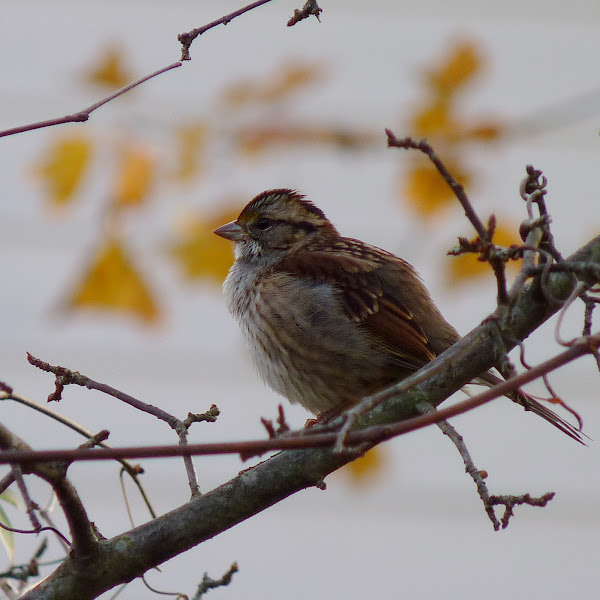 Photo: White-throated Sparrow