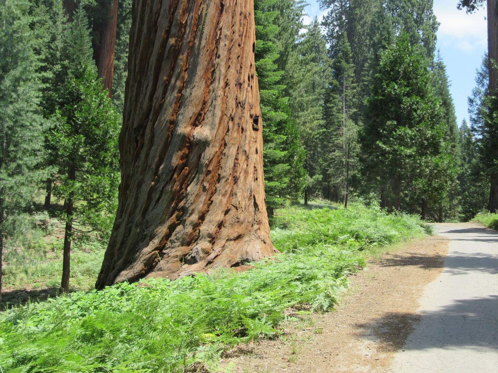 cycling  Bear Creek Road - Oliver Twist giant sequoia redwood tree