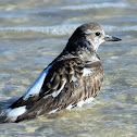 Ruddy turnstone (bathing)