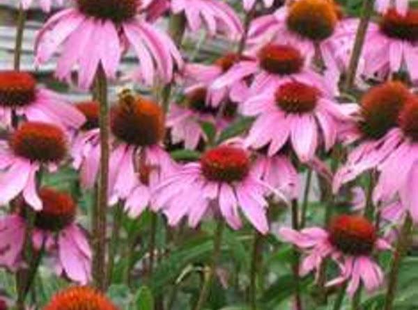 Immune Building Blend For Tea, Tinture Or Wash Recipe