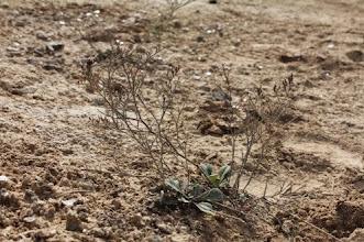 Photo: Flora salina: Limonium lucentinum