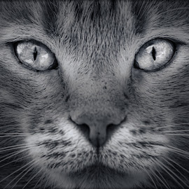 Cat by Dado Barić - Black & White Animals ( b/w, cat, portrait, eyes )