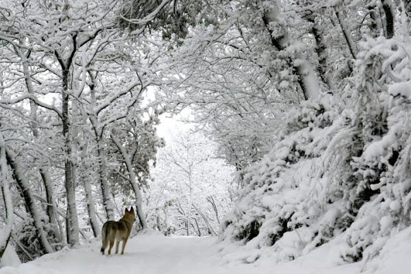 Biancaneve e il lupo di elenaraja