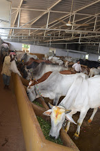 Photo: JIVA Gosala (Cowshed with Pure Indigenous Varieties of Cows)