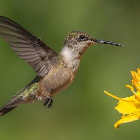 Thinking About It by Roy Walter - Animals Birds ( wild, hummingbird, wildlife, garden, animal )