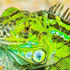 Green Boy by Ken Nicol - Animals Reptiles (  )