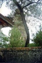Photo: cây tùng sau tháp Phước Duyên