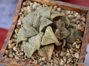Photo: Haworthia emelyae 'Powdered Sugar'