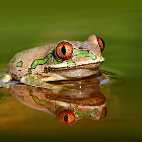 Natal Forest Tree Frog by David Knox-Whitehead - Animals Amphibians ( waters, red eyes, frog, green, tree frog, frogs, amphibians, eye, eyes,  )