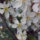Honey bee / пчела медоносная