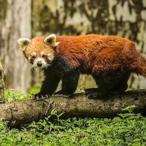 Himalayan Red Panda by Sandip Banerjee - Animals Other ( panda, red hair, outdoor photography, himalayan, animals,  )