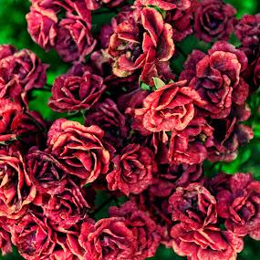 by Otetea Ovidiu - Flowers Flower Gardens