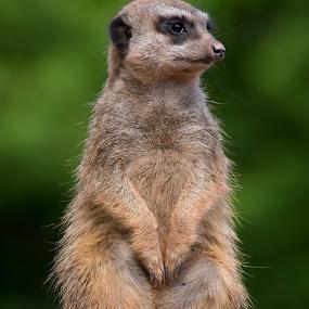 The Watcher by Jürgen Mayer - Animals Other Mammals ( zoo, tier, suricate, meerkat, erdmännchen, tiergarten, animal )