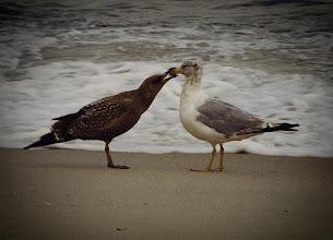 Photo: Seagulls on Long Beach Island, NJ - (scanned from a 1994 4x6 print)