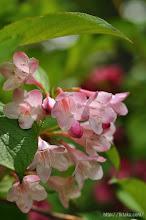 Photo: そして「ハコネウツギ」。これらの花は例年GW明けから咲き始める。(2014,05,11)