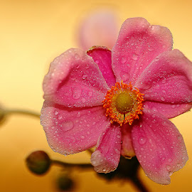 Anémone du japon by Gérard CHATENET - Flowers Single Flower