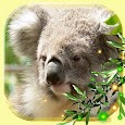 Cute Koala Live Wallpaper icon