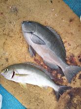 Photo: 「今、バリバリ釣れてるぞー!」 クロとイサキのダブル!