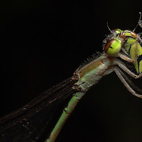 Griocnemis Femina Oryzae  by Piey A - Animals Insects & Spiders