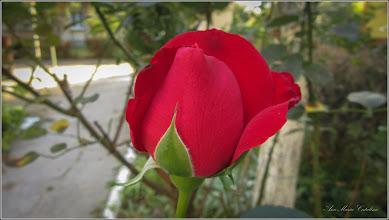 Photo: Trandafir (Rosa)  - din Turda, Str. Rapsodiei, Nr.8 - 2019.09.15