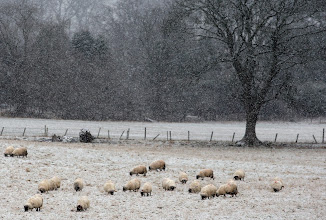 Photo: Sheep looking for food in the Scottish Borders as heavy snow hits areas around Scotland. PRESS ASSOCIATION Photo. Picture date: Sunday January 13 ,2013. See PA story WEATHER Snow. Photo credit should read: David Cheskin/PA wire