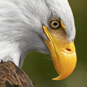 Deep in Thought by Pam Mullins - Animals Birds ( canada, nature, bald eagle, wildlife, raptor,  )