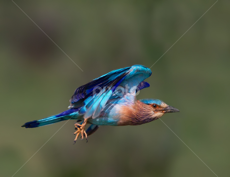 Blue Flight by Jineesh Mallishery - Animals Birds ( roller, jineesh, indian roller )