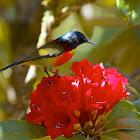 Green-tailed Sunbird