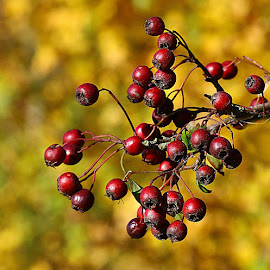 Autumn Bokeh by Chrissie Barrow - Nature Up Close Other Natural Objects ( red, nature, autumn, hawthorn, bokeh, closeup, berries,  )